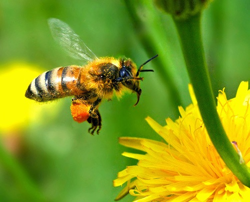 honey-bee-carrying-out-pollination